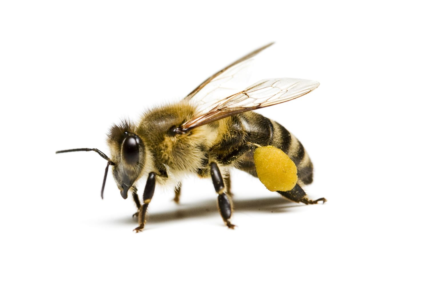 Forsyth County Beekeepers Association of NC - Bee Removal FAQ